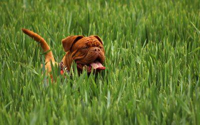 Dogue De Bordeaux – Den blide kæmpe
