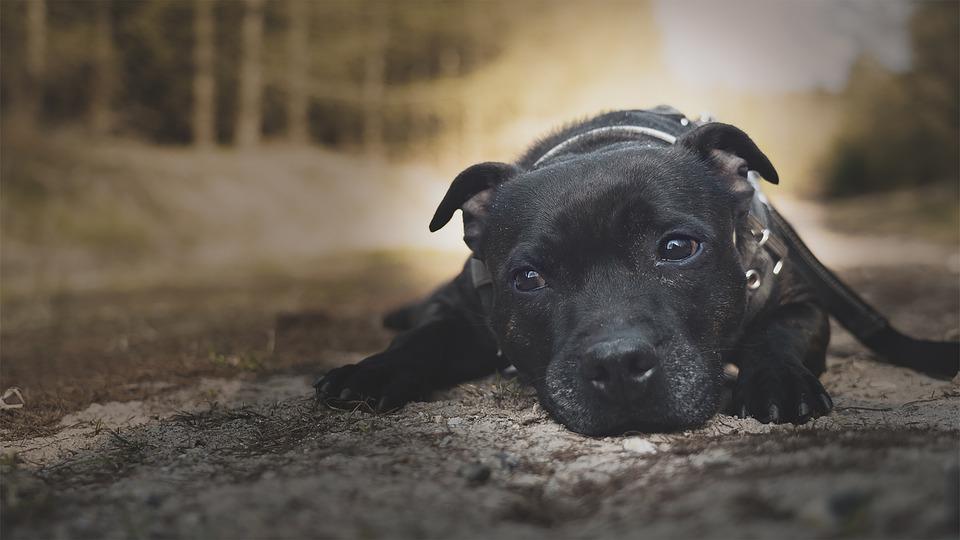 Staffordshire bull terrieren: den perfekte familiehund til større børn